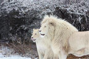 Weltevrede Lion Farm
