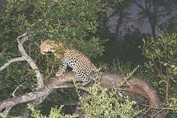 A Local Leopard Resting In His Favourite Tree