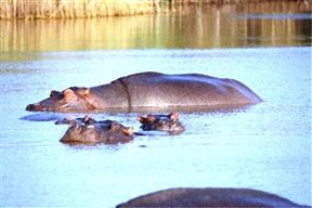 Resident Hippos Cooling Off In The Estuary