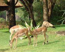 Impala roam free in Kruger Park Lodge and are often seen grazing on our lawn