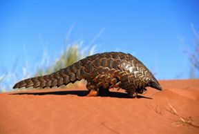 Pangolin Crossing Kalahari Dunes