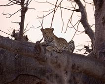 What more iconic image of Africa than a leopard lazing in a giant baobab. © Copyright - Wilderness Safaris. Our images are free for use by anyone as long as they are being used to promote Wilderness Safaris properties or safaris, and that credit is given to Wilderness Safaris