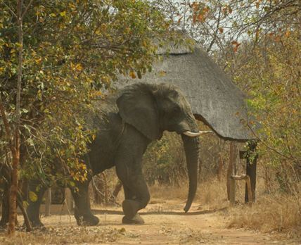 Elephant at the lodge