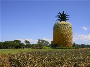Surrounded by pineapple plantations.