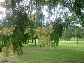 Mature Trees On The Golf Course
