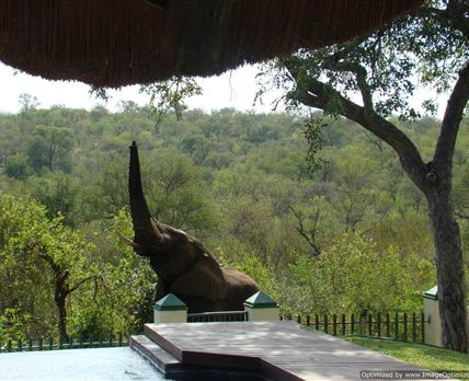This elephant is after the marula not the water in the pool