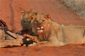 Kgalagadi National Park Accommodation