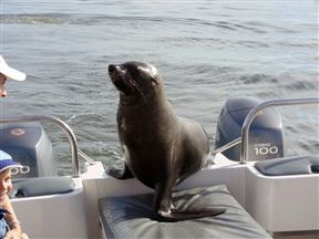 Cape Fur Seal Hitching A Ride In Walvis Bay Lagoon